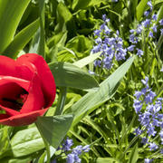 tulips and bluebells in your pender island garden